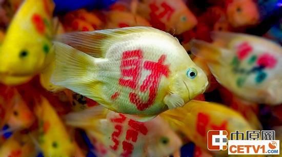 """鱼身上醒目的""""财""""字"""