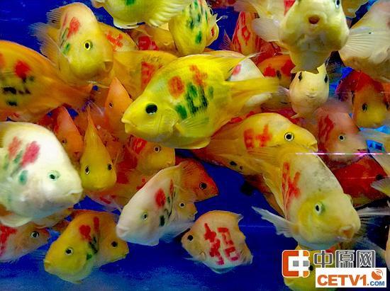 """郑州这种鱼身体惨遭刻字 被纹身后变""""发财鱼"""""""